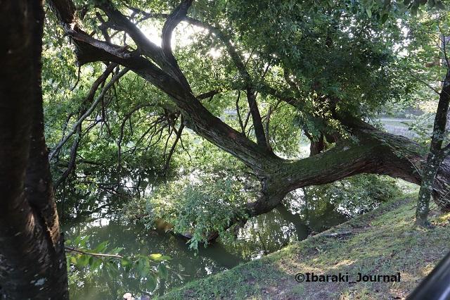 1015-9耳原公園の池の木IMG_5365