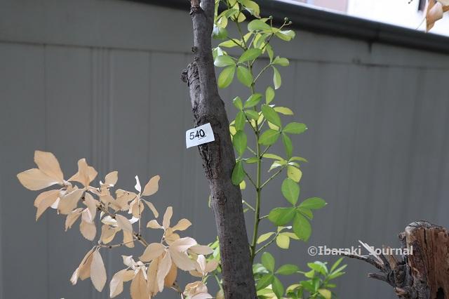 1005川端通りの木に番号IMG_5056