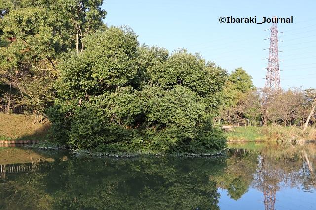 1015ー11耳原公園の池の木を外側からIMG_5368