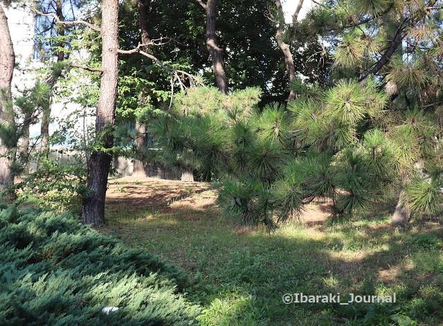 1025元茨木川緑地沢良宜のほう松の木IMG_5925