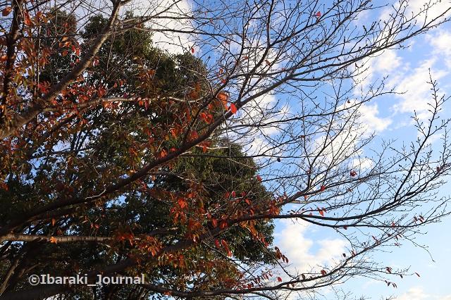 1130安威川茨木川合流のところの木IMG_7231