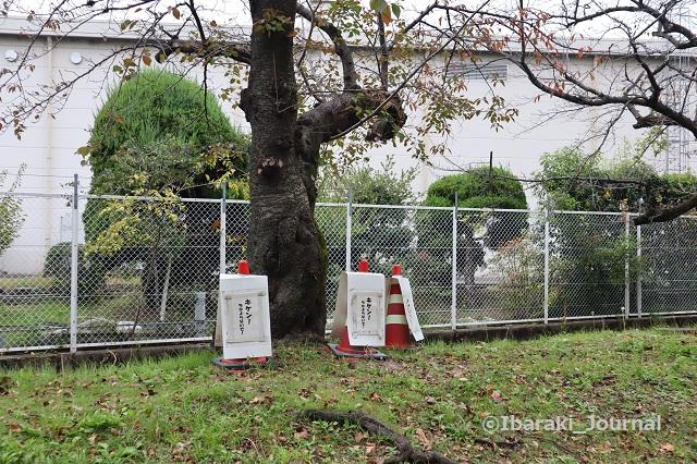 1107川端通りの木危険IMG_6419