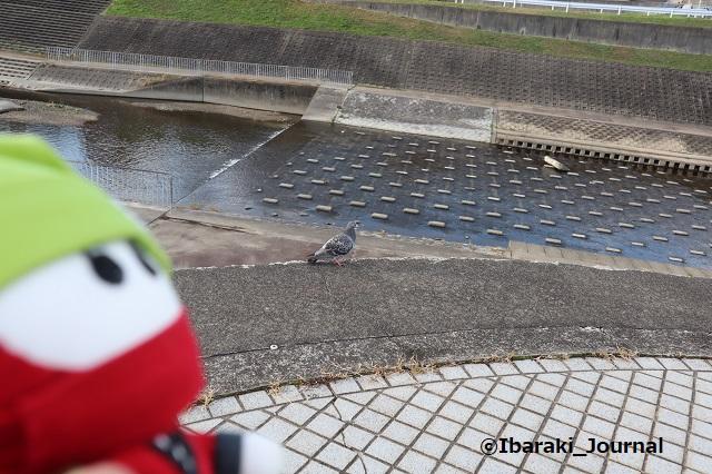 1130茨木川にんじゃると鳩IMG_7229
