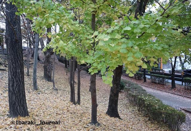 1127川端通りの公園の葉っぱIMG_7072