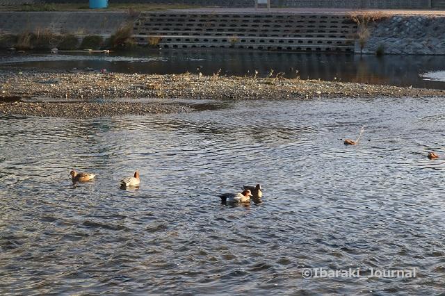 9-1231安威川の鴨IMG_8141