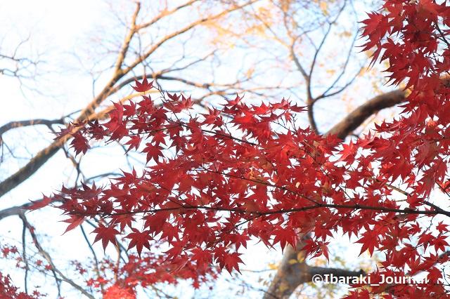 1222-3元茨木川緑地で赤いもみじIMG_7927