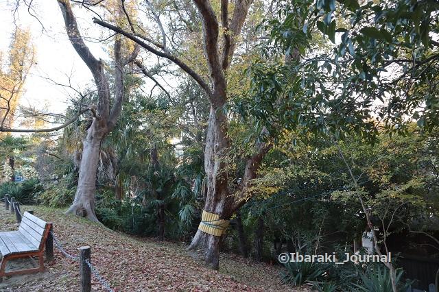 1222-8茨木神社沿いの木IMG_7937