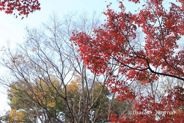 1215茨木神社となりの元茨木川緑地紅葉IMG_7780