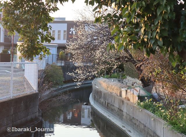 20210221斎場そばの梅の木IMG_9246