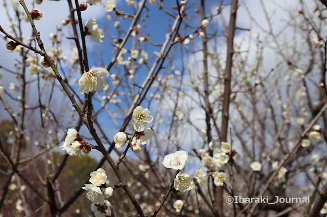 20210216元茨木川緑地の梅の花つぼみIMG_9226