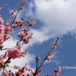 20210216元茨木川緑地梅の花アップ2IMG_9224