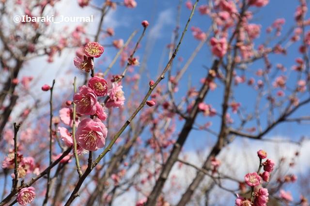 20210216元茨木川緑地梅の花アップ1IMG_9223