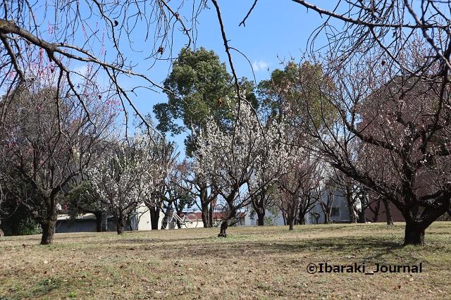 4-20210216元茨木川緑地の梅2IMG_9220