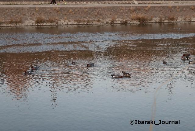 20210221安威川の鴨IMG_9259