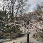 高橋交差点の桜IMG_0933