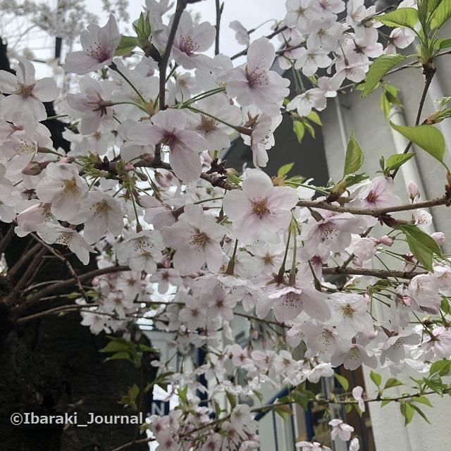 川端通りで桜IMG_1032