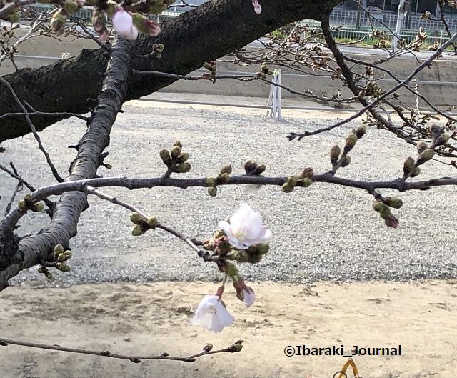 中央公園桜咲きかけIMG_0863