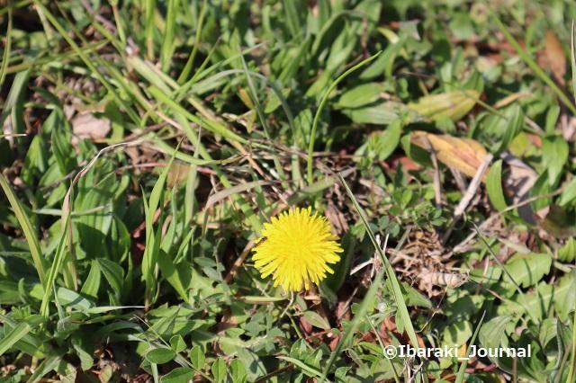 0308タンポポの花IMG_9510