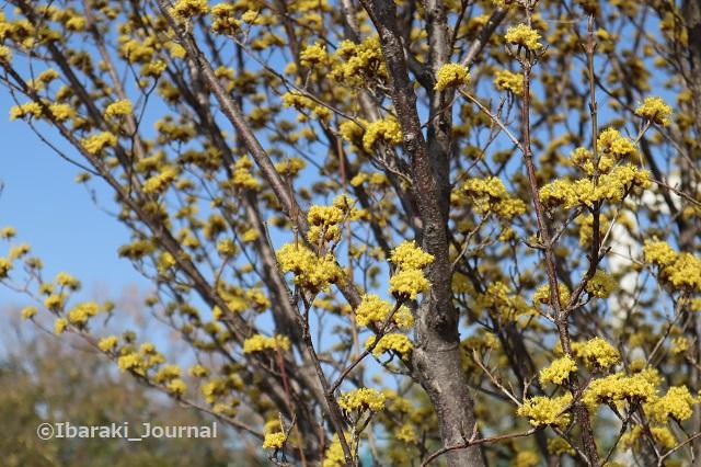 0308安威川沿い黄色い花のアップIMG_9504