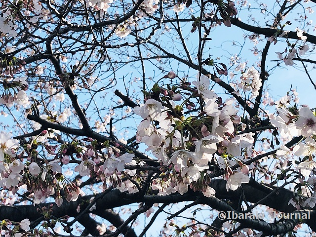 0326済生会そばの桜IMG_0968