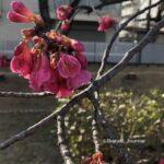 元茨木川緑地で寒緋桜0301IMG_0410