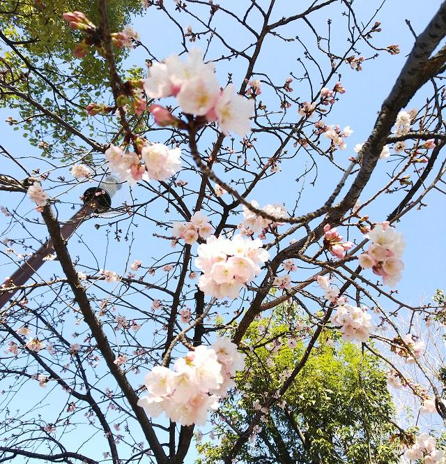 kk桜みっちょさんから17737