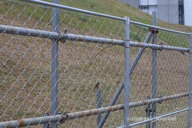 0316彩都で鳥を見たIMG_9639