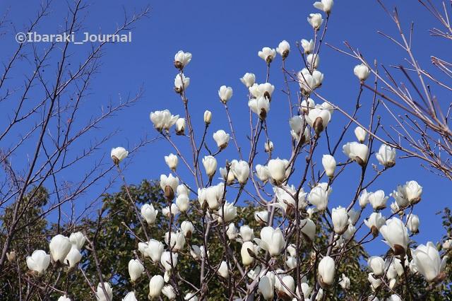 0308安威川沿いの木蓮の木のアップIMG_9507