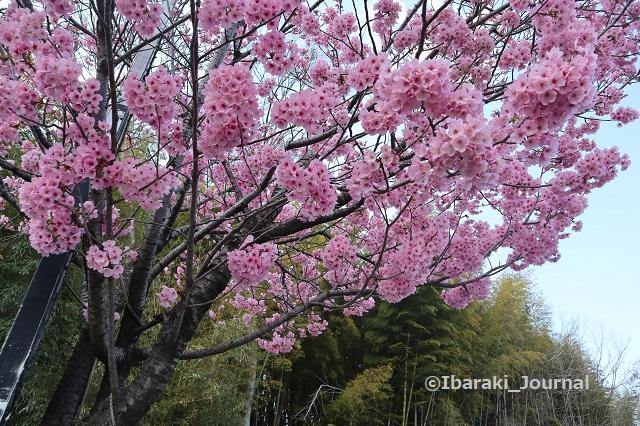 20200323桃の花IMG_2224