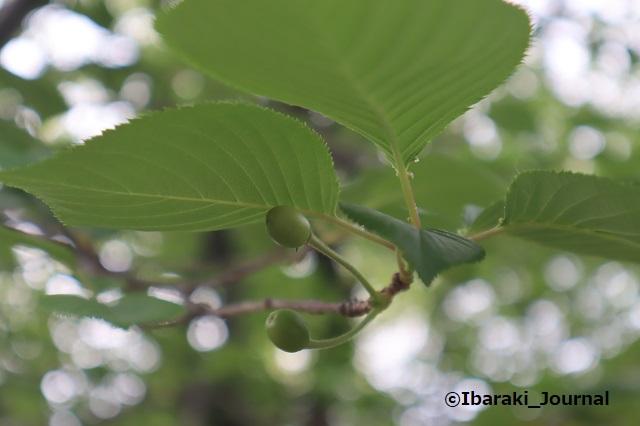 3-4-0425元茨木川緑地で桜の実IMG_0297