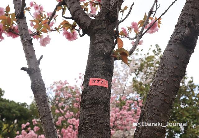 10-元茨木川緑地777番の桜IMG_9981