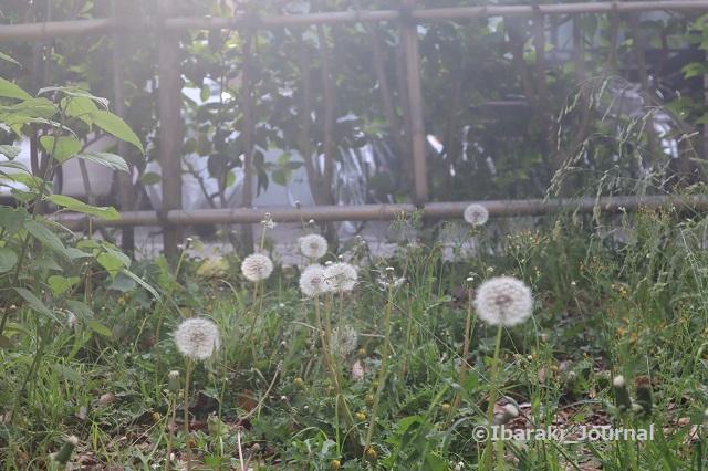 7-0425元茨木川緑地のたんぽぽpIMG_0309