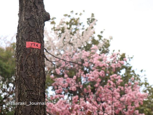 6ー元茨木川緑地774番の桜IMG_9987
