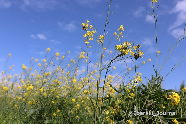 あけぼの橋近くの菜の花IMG_0177