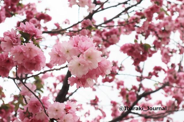 元茨木川緑地の桜ベニユタカIMG_9965 (2)
