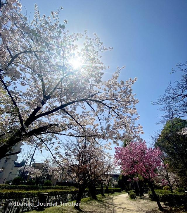 元茨木川緑地の桜4IMG_1657