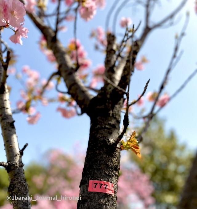 元茨木川緑地の桜3-777番IMG_1651