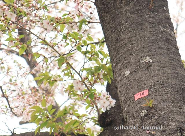 8-元茨木川緑地776番の桜IMG_9983