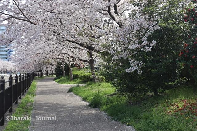 0401宇野辺の神戸製鋼そばの桜並木IMG_9892