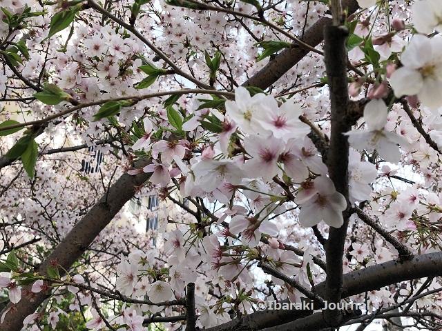 0401南茨木スギ薬局そば桜アップIMG_1134 (2)