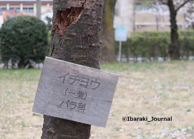 元茨木川緑地イチヨウの札IMG_9962