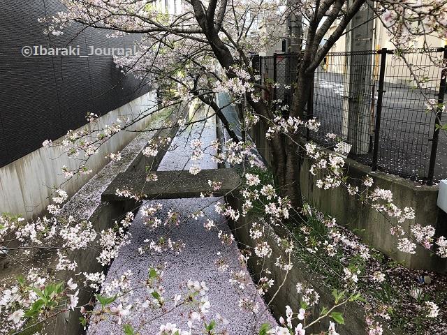 0401南茨木スギ薬局そばの小川の桜IMG_1131