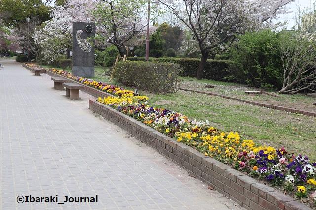 元茨木川緑地のパンジーIMG_9973