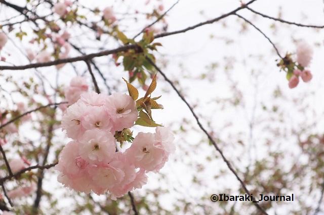 元茨木川緑地の桜イチヨウ2IMG_9963 (2)