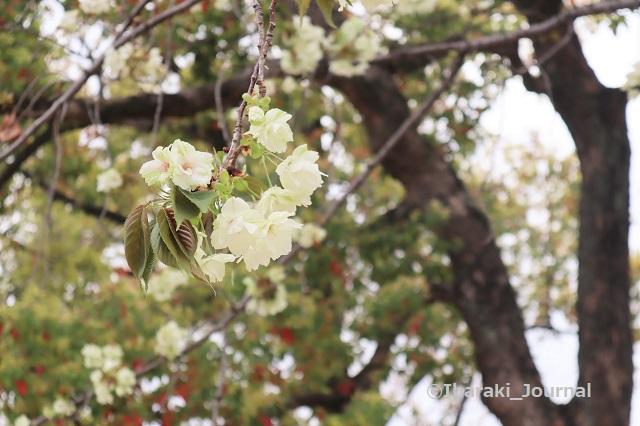 元茨木川緑地の桜ウコンIMG_9957 (2)