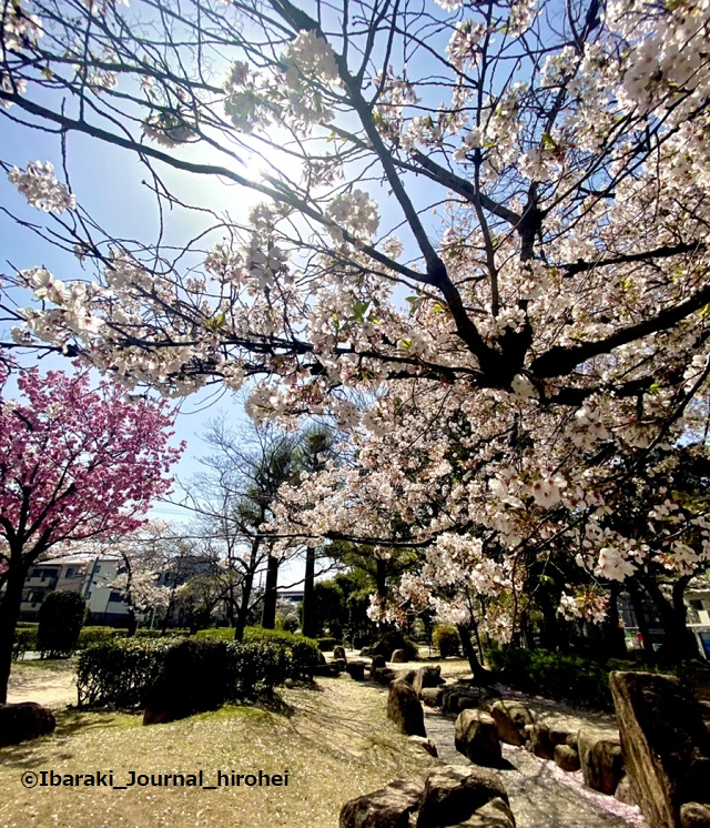 元茨木川緑地の桜5IMG_1661