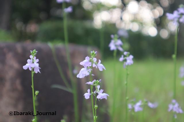 3-3-0425元茨木川緑地の花IMG_0296