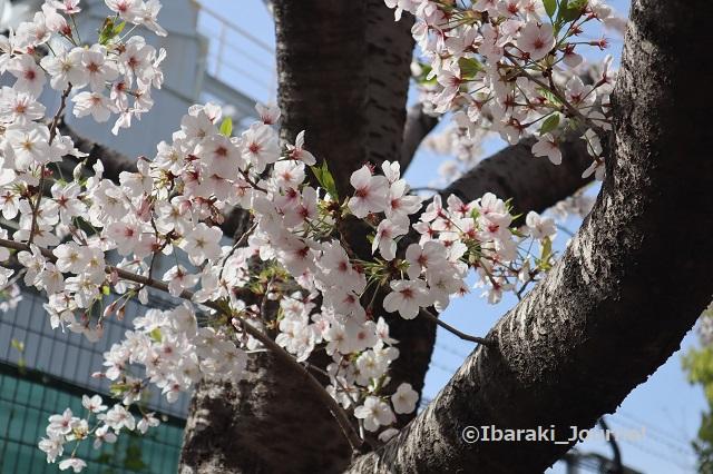 0401宇野辺の神戸製鋼そばの桜IMG_9905
