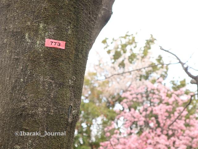 5ー元茨木川緑地773番の桜IMG_9988