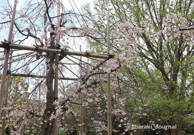 元茨木川緑地のしだれ桜IMG_9977